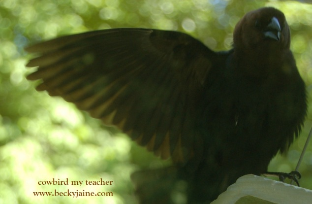 cowbird teacher becky jaine 2014
